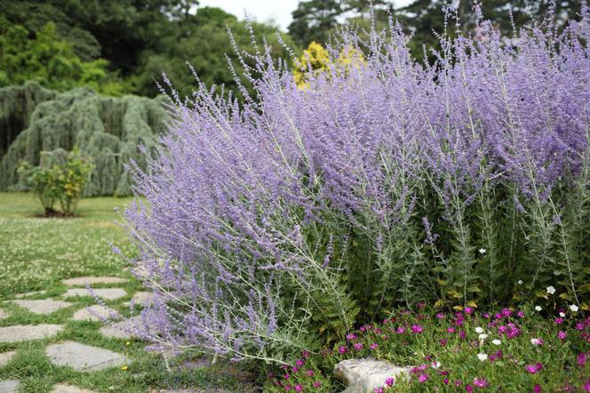 Fioletowe Kwiaty W Ogrodzie Jakie Rośliny Kwitną W