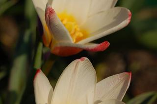 Tulipan 'Heart's Delight' - Tulipa 'Heart's Delight'