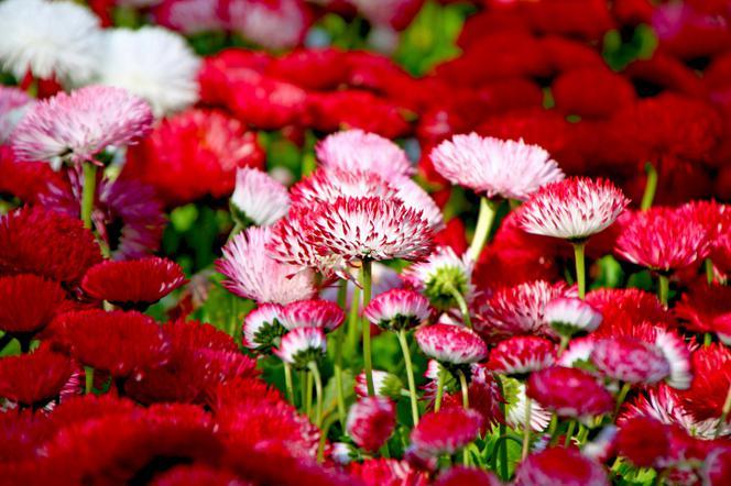 Stokrotki Popularne Kwiaty Ogrodowe Stokrotki W Ogrodzie I Na