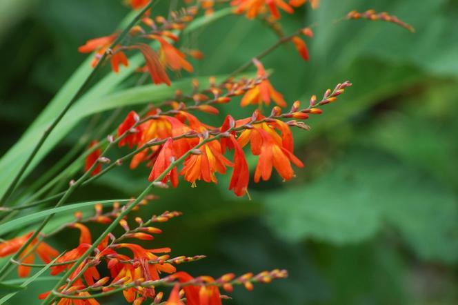 Jakie Rośliny Cebulowe Sadzi Się Wiosną Kwiaty Cebulowe Sadzone