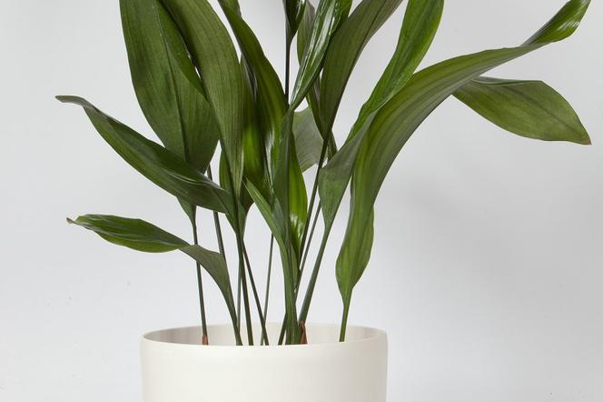 Rośliny Doniczkowe Dla Zapracowanych Niewymagające Kwiaty