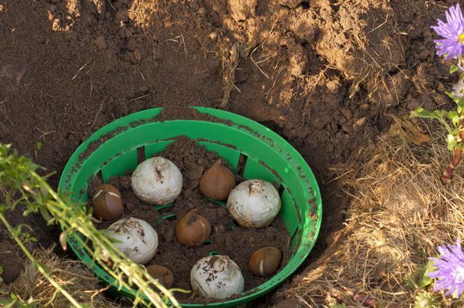 корзинка для посадки луковичных цветов