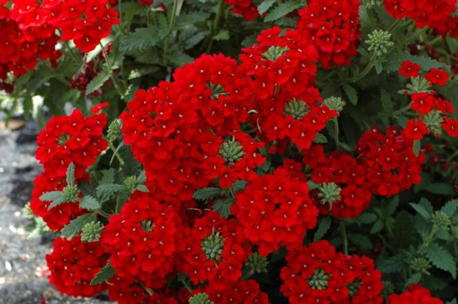 Werbeny Kwiaty Na Balkon Taras I Do Ogrodu Zdjęcia