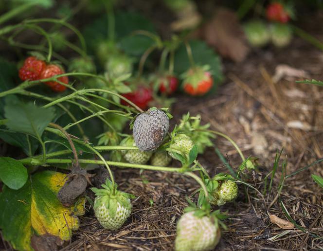 Choroby i szkodniki truskawek