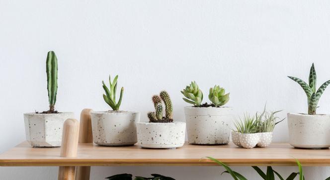 Kaktusowate Rosliny Domowe Ktore Warto Miec W Domu Murator Pl