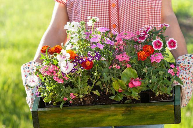Kwitnące Rośliny Jednoroczne Uprawiane W Siewu I Z Rozsady