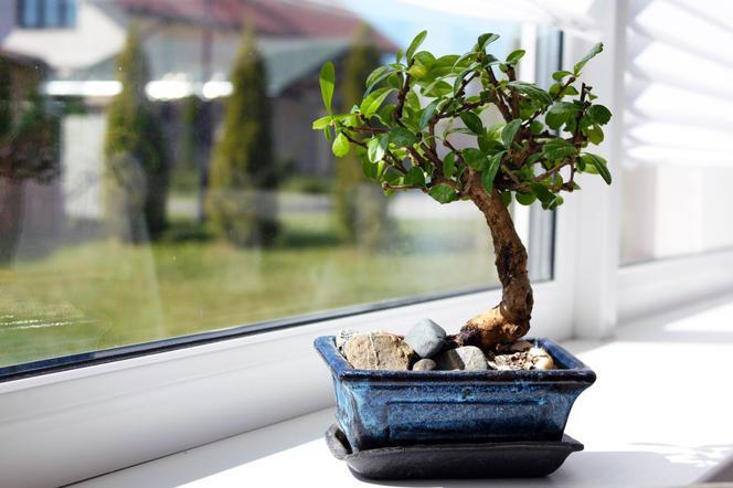 Drzewko Bonsai Jak Pielęgnować Bonsai W Domu Muratorpl