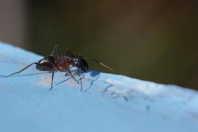 Mrówki Faraona W Domu Co Złego Robią Jak Się Ich Pozbyć Z