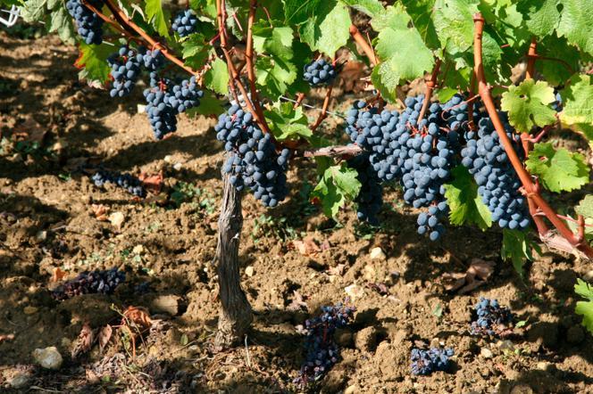 Winorośl W Ogrodzie Jaką Ziemię Lubią Winogrona Winorośl