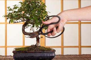 Bonsai Przycinanie Drzewek Bonsai Poradnik Jak Ciąć