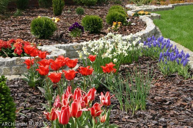 Jakie Rośliny Cebulowe Kwitną Wiosną Zdjęcia Muratorpl