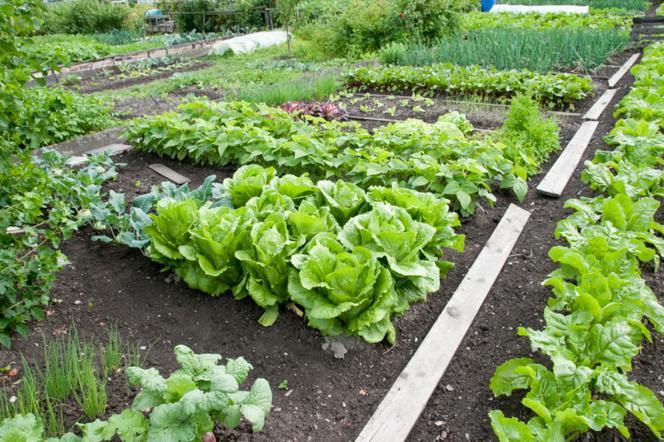 Warzywa Z Ogrodu Zakładamy Własny Ogród Warzywny Muratorpl
