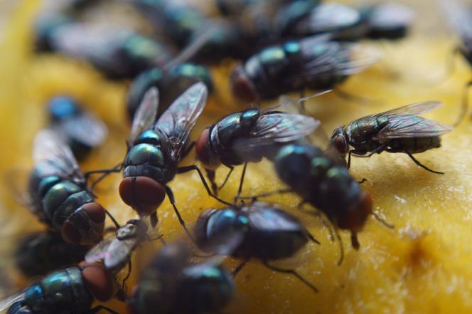 Mucha Domowa Najlepszy Sposób Na Muchy Jak Się Pozbyć