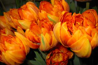 Tulipan 'Orange Princess'  - Tulipa 'Orange Princess'