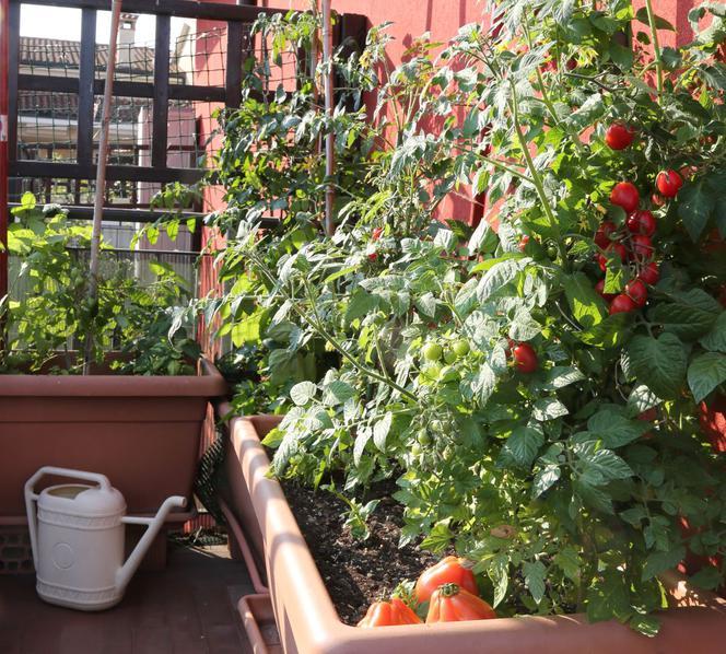 Pomidory Na Balkonie Uprawa Pomidorów Na Balkonie Poznaj