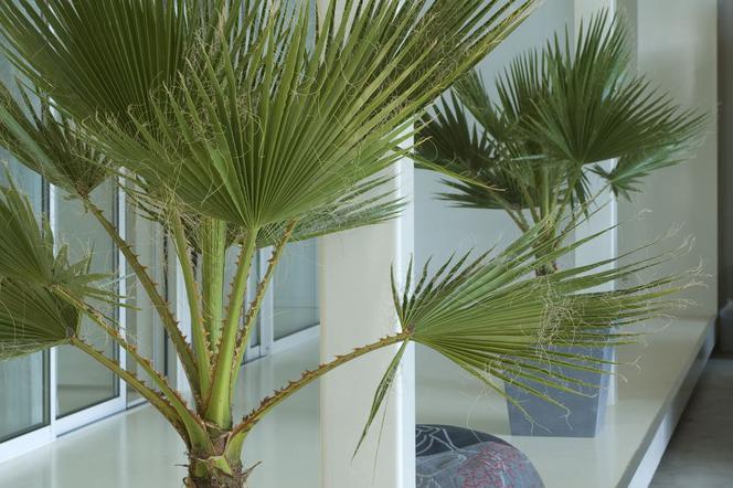 Najpopularniejsze Palmy Doniczkowe Do Domu Warunki Uprawy