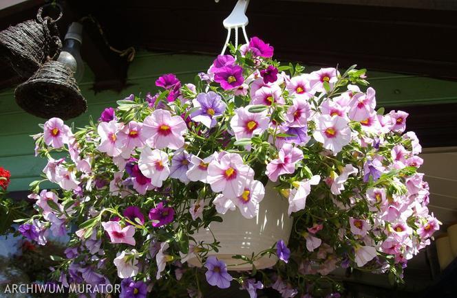 Kwiaty Na Balkon Zobacz Balkonowe Kwiaty Hity Najlepsze Kwiaty Balkonowe Pelargonie Czy Surfinia Urzadzamy Pl