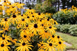 Zolte Kwiaty W Ogrodzie Jakie Rosliny Kwitna W Ogrodzie Na Zolto Murator Pl
