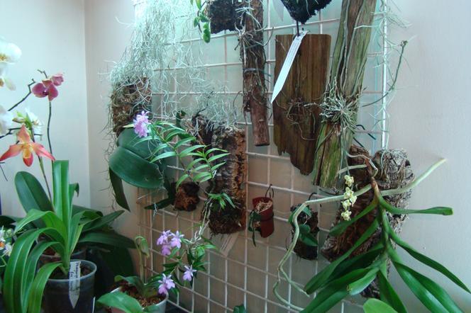 Storczyki W Domu Uprawa Storczyków Okres Spoczynku