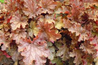 Żurawka 'Ginger Peach' - Heuchera 'Ginger Peach'