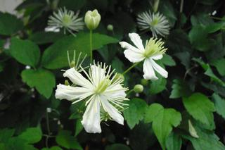 Powojnik  'Paul Farges' = SUMMER SNOW - Clematis  'Paul Farges' = SUMMER SNOW