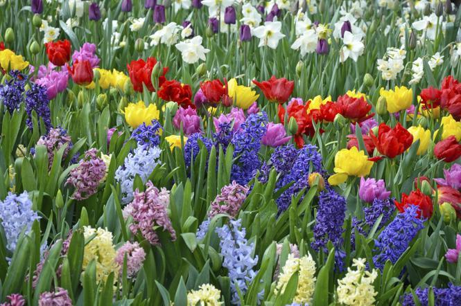 Wiosenne Kwiaty W Ogrodzie Tulipany Hiacynty Narcyzy Krokusy
