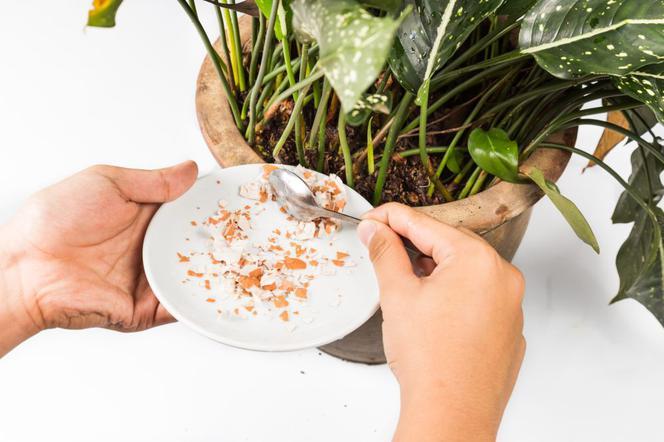 Domowe Sposoby Nawożenia Roślin Doniczkowych Skorupki Z Jaj