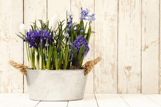 Kwiaty Cebulowe W Doniczkach Wiosenne Dekoracje Domu Balkonu I