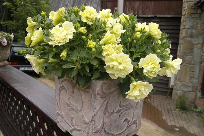 Surfinie Kwitnące Rośliny Balkonowe Jak Pielęgnować