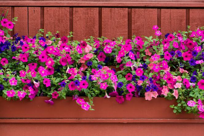 Rośliny Balkonowe Najpopularniejsze Kwiaty Na Słoneczny Balkon