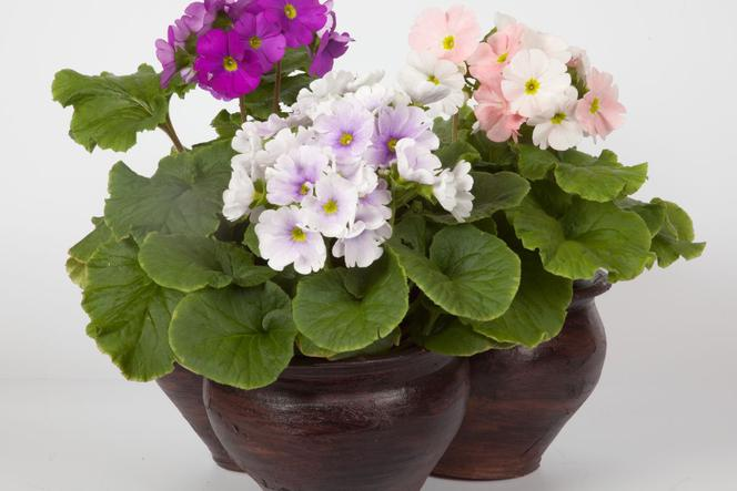 Pierwiosnek Kubkowaty Wiosenny Kwiat Doniczkowy Który Może