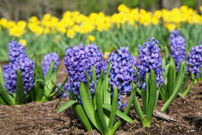 Rośliny Cebulowe Kwitnące Wiosną Poznaj Gatunki I Odmiany Roślin