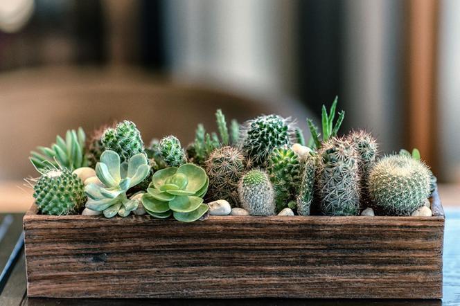 Kaktusy Doniczkowe Jak Pielęgnować Kaktusy W Domu Muratorpl