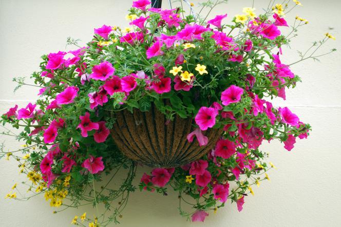 Kwiaty Balkonowe Najpopularniejsze Rośliny Balkonowe