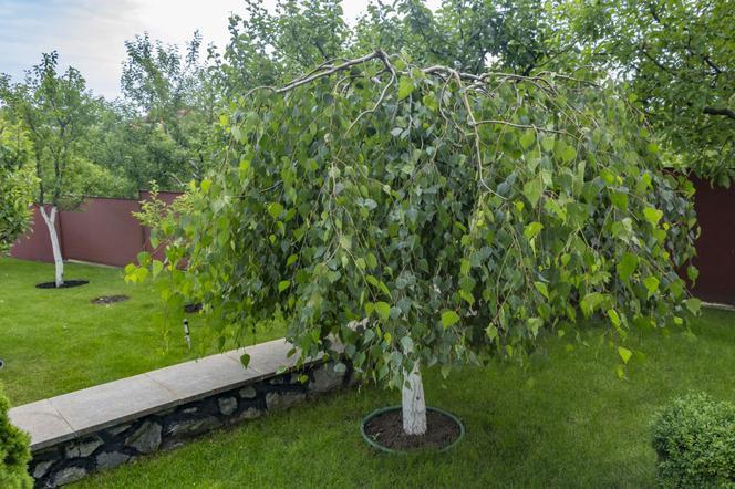 Najpopularniejsze Drzewa Ozdobne Które Możesz Posadzić