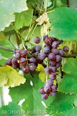 Sadzenie I Uprawa Winorośli Winorośl W Twoim Ogrodzie