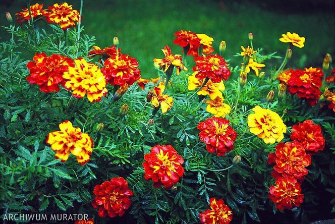 Kwiaty Na Balkon Zachodni Wybieramy Najlepsze Rosliny Na Zachodni Balkon Urzadzamy Pl