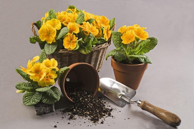 Prymulki doniczkowe - czy po zakupie trzeba roślinę