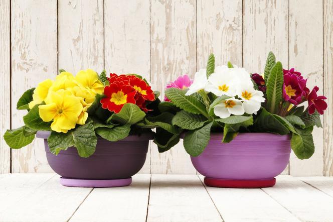 Kwiaty Doniczkowe Prymulki Jak Dbać O Prymule W Domu Muratorpl