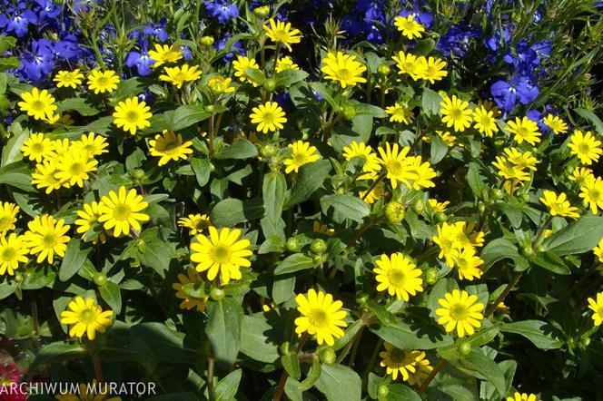 Rośliny Balkonowe Najpopularniejsze Kwiaty Na Słoneczny