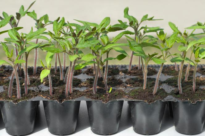 Jak Przygotować Rozsadę Pomidora I Papryki Muratorpl