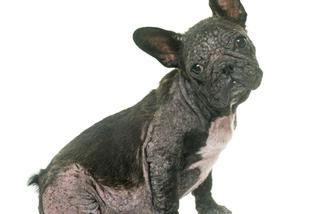 Choroby Psów Borelioza U Psa Babeszjoza U Psa Psi Tyfus