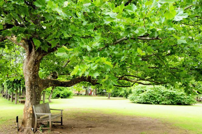 Platan klonolistny - duże drzewo. Czy platan nadaje się do ogrodu ...