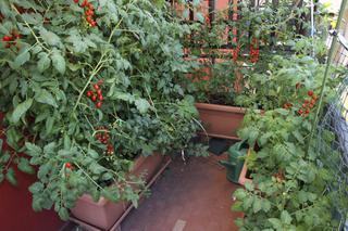 Jak Uprawiać Warzywa Na Balkonie Warzywa Na Balkon Zobacz