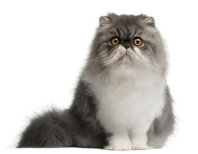 Kot Perski Wymagający Elegant Charakter Choroby Pielęgnacja
