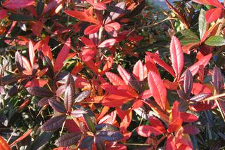 Berberys Julianny - Berberis julianae