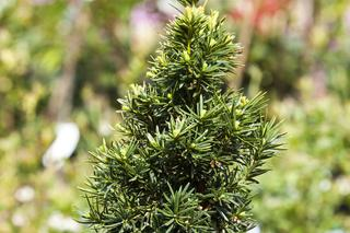 Cis pospolity 'David' - Taxus baccata 'David'
