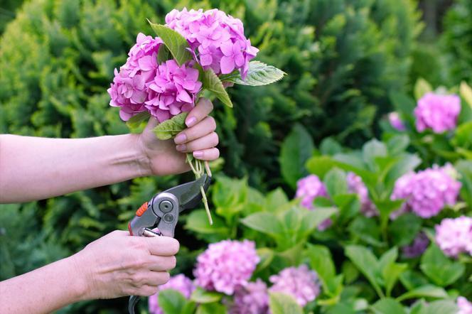Suszenie Kwiatow Hortensji Sposoby Jak Zasuszyc Hortensje Murator Pl