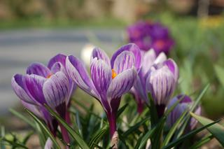 Krokus 'Pickwick' - Crocus vernus 'Pickwick'