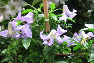 Powojnik 'Betty Corning' - Clematis 'Betty Corning'